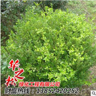 批发供应绿化树木 小叶黄杨 灌丛地被 易存活小叶黄杨球量大价优