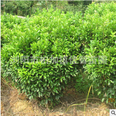 苗农工程绿化苗木瓜子黄杨小叶黄杨 瓜子黄杨球绿化景观苗木