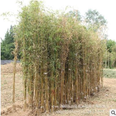 庭院观赏四季常青竹子苗 金镶玉竹青竹苗 紫竹小苗 品种全 竹子