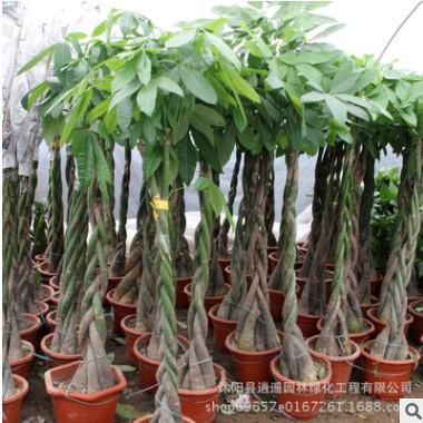 批发优质发财树盆栽客厅净化空气吸甲醛发财树绿化环境绿植花卉