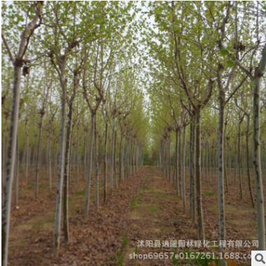工程园林绿化 精品法国梧桐树 速生法桐树苗 梧桐苗 规格全