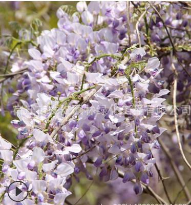 紫藤树苗基地批发墙体绿化攀援植物 围墙绿篱紫藤萝 多花紫藤花苗