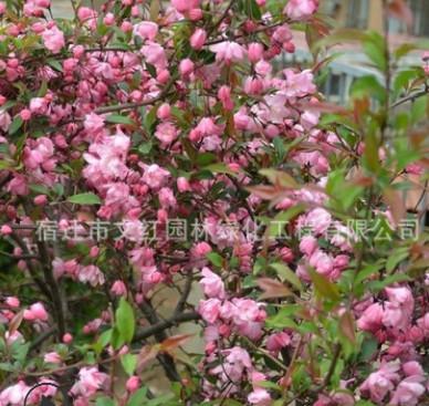 垂丝海棠海棠树苗庭院观赏室内盆栽气味芳香量大从优垂丝海棠直销