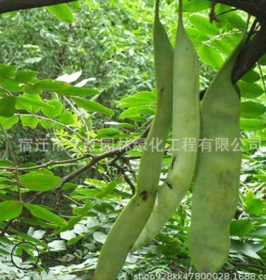 皂角树小苗批发 工程绿化苗木 道路庭院景观树皂角树苗 3-15公分