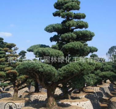 五针松树苗绿化苗木色块绿篱庭院观赏四季常青五针松造型树直销