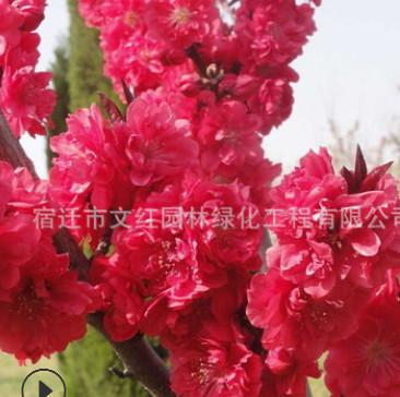 龙柱碧桃树苗绿化苗木庭院观赏规格齐全行道点缀质优量大龙柱碧桃