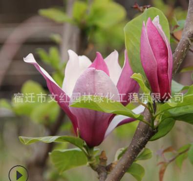 紫玉兰树苗批发庭院观花植物 紫玉兰花苗 工程绿化精品玉兰造型树