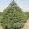 山东泰安基地现货供应白皮松树 树姿优美规格全 工程绿化树价格