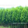 大量出售5公分 7公分 8公分 10公分优质五角枫 园林绿化工程