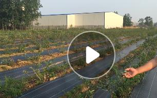 好项目蓝莓树苗 蓝莓苗 盆栽果树苗 兔眼 北方南方种植当年结果