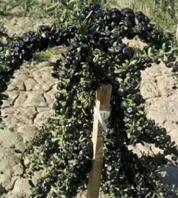 黑枸杞苗红枸杞树苗南方北方种植庭院盆栽地栽树苗保健营养价值高