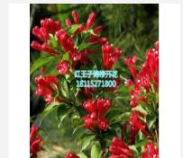 红叶小锦带