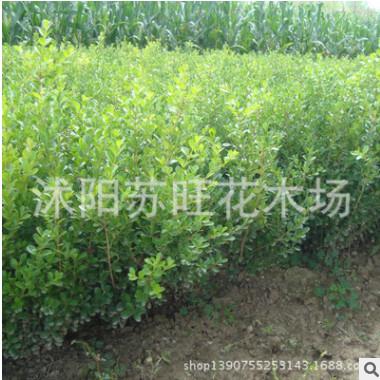 基地批发大叶黄杨苗 绿化工程苗优质大叶黄杨 品种齐全 量大优惠