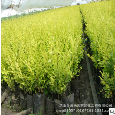 基地园林绿化工程嫁接苗 金叶榆树苗 规格全 造型金叶榆 树形优美