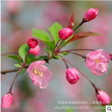 直销园林绿化海棠苗 垂丝海棠小苗 庭院观赏垂丝海棠树苗 规格全