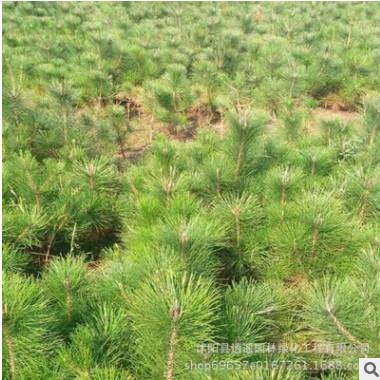 路边绿化黑松小苗 四季常青黑松苗 规格全 自产黑松树苗