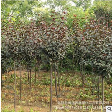 基地速生紫叶李红叶李树苗 庭院园林工程绿化 紫叶李造型风景树