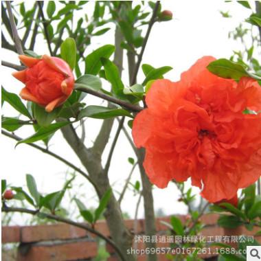 大量供应优质花石榴树苗 花石榴小苗 庭院花园盆栽工程绿化
