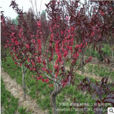 厂家直销紫叶桃工程苗木 庭院观赏绿化紫叶苗桃街道小区绿化苗