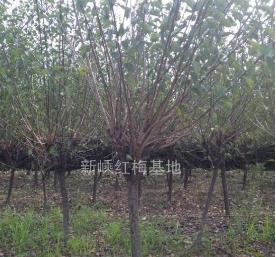 浙江地区供应红梅