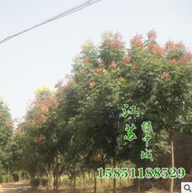 北京栾树种籽 北栾 质量保证