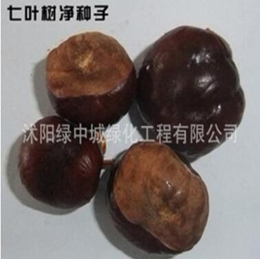 供应红花七叶树籽 梭椤树 七叶树籽 天师栗 开心果籽
