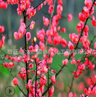 红梅树苗批发绿化花木庭院观赏室内梅花盆栽气味芳香腊梅树苗
