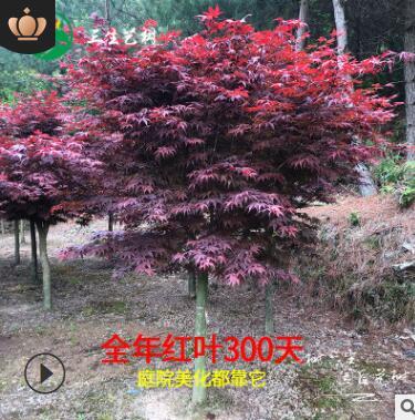红枫基地直销盆景老桩日本红舞姬花卉盆栽三季红庭院绿化红枫树