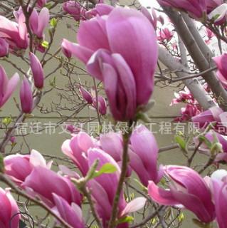 紫玉兰树苗绿化花木庭院观赏行道点缀气味芳香量大从优紫玉兰直销