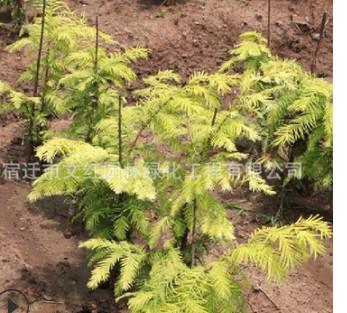 金叶水杉树苗绿化苗木色块绿篱行道点缀庭院观赏量大从优金叶水杉