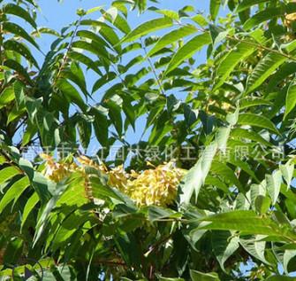 臭椿树苗绿化苗木色块绿篱行道点缀四季常青量大从优臭椿树苗直销