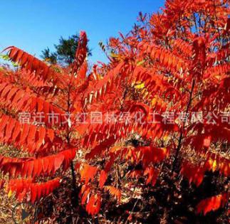 基地批发火炬树树苗 园林绿化工程 庭院观赏行道风景树火炬树
