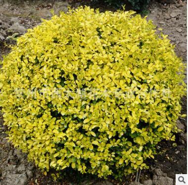 苗圃直销 金叶女贞球 大叶黄杨球 瓜子球 绿化树木黄杨球