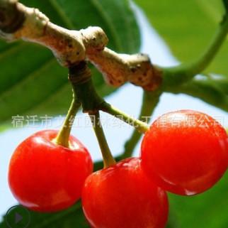 樱桃苗绿化苗木庭院观赏气味芳香酸甜可口行道点缀量大从优樱桃苗