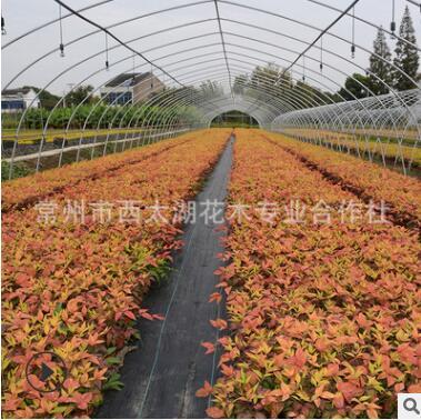 火焰南天竹盆栽 庭院绿化红天竹 秋冬季节观赏竹