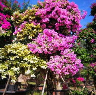 基地批发三角梅 市政园林绿化嫁接多花特殊品种 多规格易养活