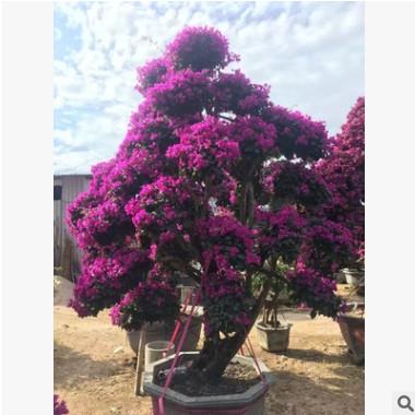 供应 贵州三角梅 高度30-200公分 各种颜色 袋苗盆栽自产自销