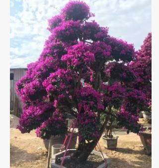 供应 四川三角梅 高度30-200公分 各种颜色 袋苗盆栽自产自销