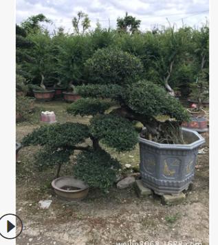 福建漳州 造型榆树 榆树桩景农户直接报价