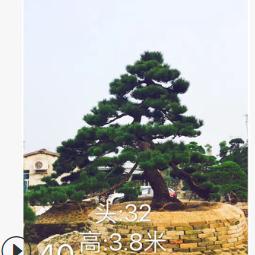 日本黑松 自家黑松场 黑松盆景 造型黑松 精品黑松