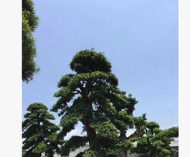 福建日本罗汉松批发 造型罗汉松 盆景罗汉松产地直销