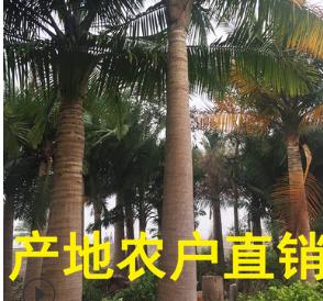 国王椰子产地直销 农户直接报价 物美价廉 欢迎来电咨询
