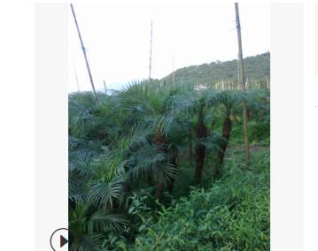 低价直销大量自产美丽针葵0.3m-2m(低价出售)质量保证