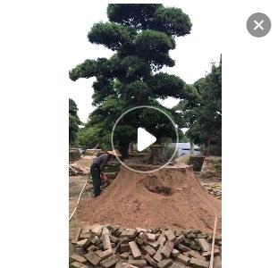 自家黑松 日本黑松 黑松盆景 造型黑松 精品黑松