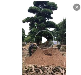 福建大型黑松场 日本黑松 黑松盆景 造型黑松 精品黑松