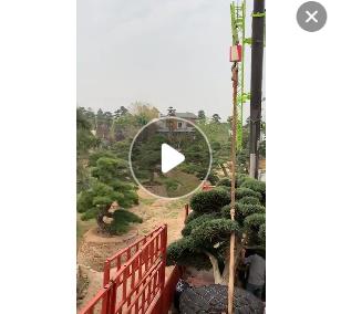 日本罗汉松报价 造型罗汉松 盆景罗汉松直销 自家东西 欢迎咨询