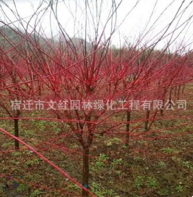 新品种赤枫苗批发 赤枫树苗 美国红枫秋火焰树苗 园林绿化苗木