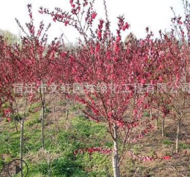 红叶碧桃树苗绿化苗木色块绿篱庭院观赏行道点缀量大从优红叶碧桃