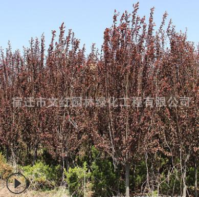紫叶李树苗绿化苗木四季常青庭院种植行道点缀质优量大紫叶李树苗