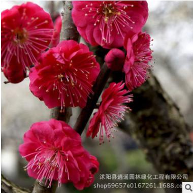 直销庭院观赏花卉 红梅苗 造型盆景苗木 耐寒梅花树苗 规格全